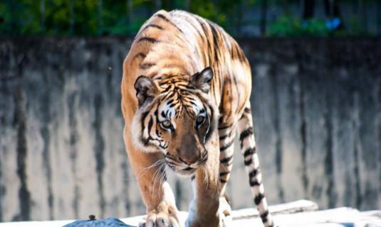 Tigresa é diagnosticada com coronavírus em zoológico dos Estados Unidos