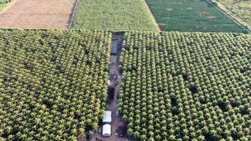 Cacau cultivado no oeste baiano tem alta produtividade e já chega aos supermercados