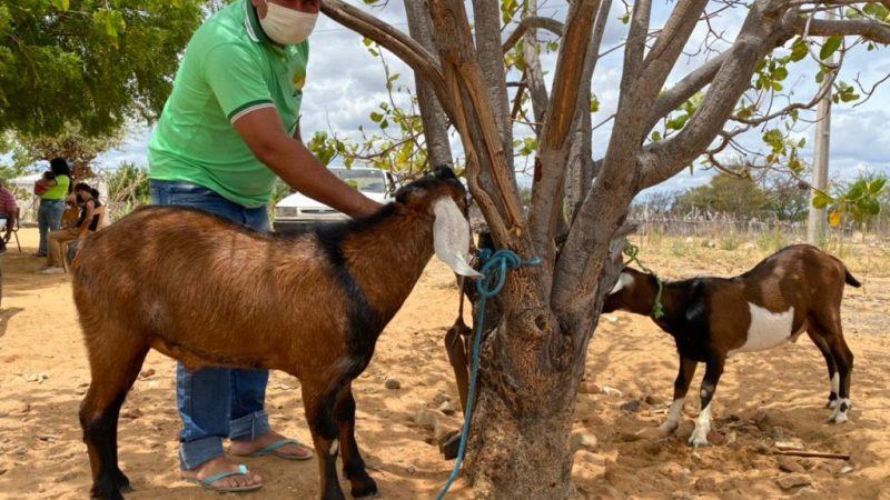Agricultores familiares da zona rural de Macururé aumentam em 80% o rebanho de caprinos